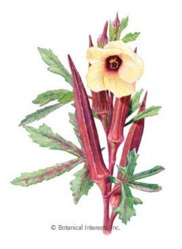 Burgundy Red Okra