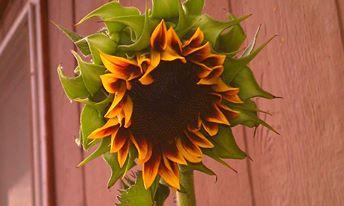Sunflower: Evening Sun