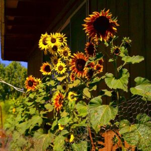 Evening Sun sunflowers