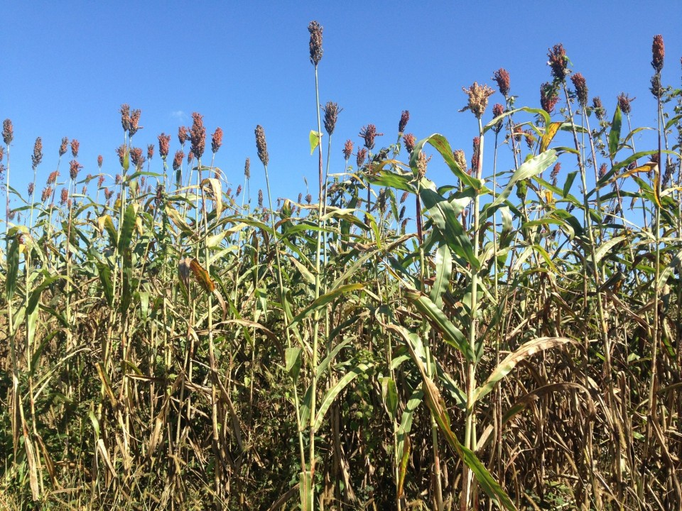 Sweet Sorghum: Sand Mountain