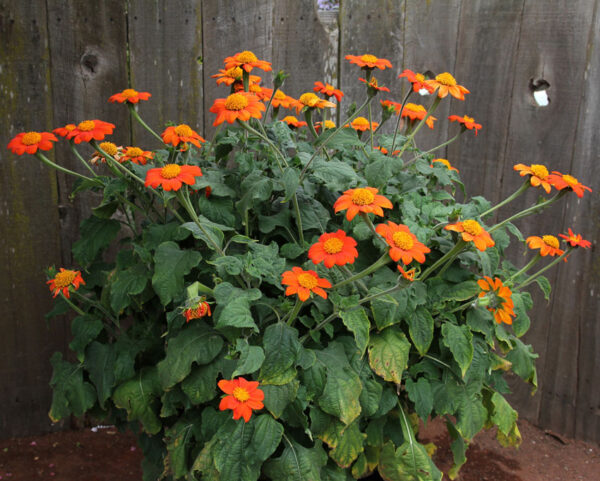 Mexican Red Torch Sunflower