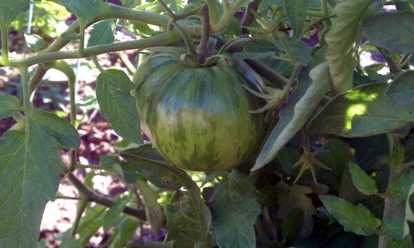 Sonoran Flair Tomato
