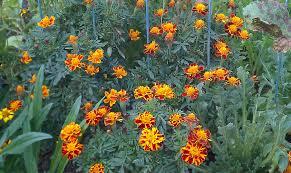 Sonoran Sunset Marigold