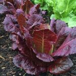 Lettuce, Romaine: Silvia Red