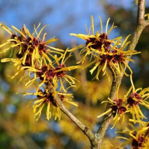 American Witch Hazel