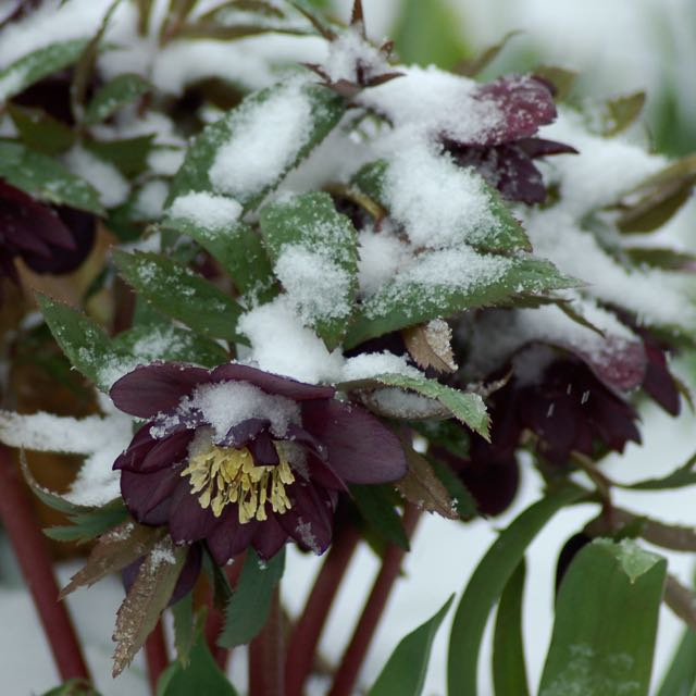 Black Hellebore in Snow