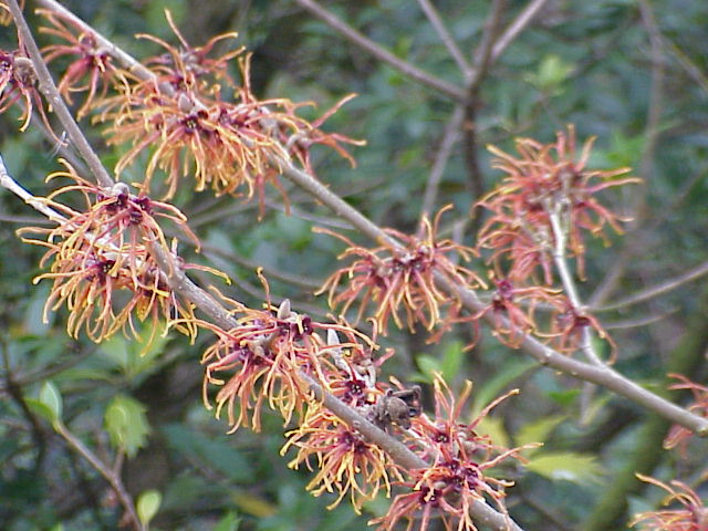 Hybrid Witch Hazel