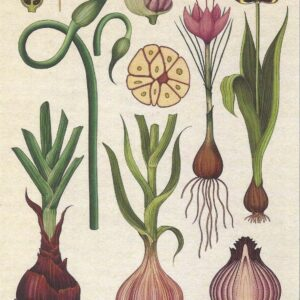 Chives Garlic and Onions